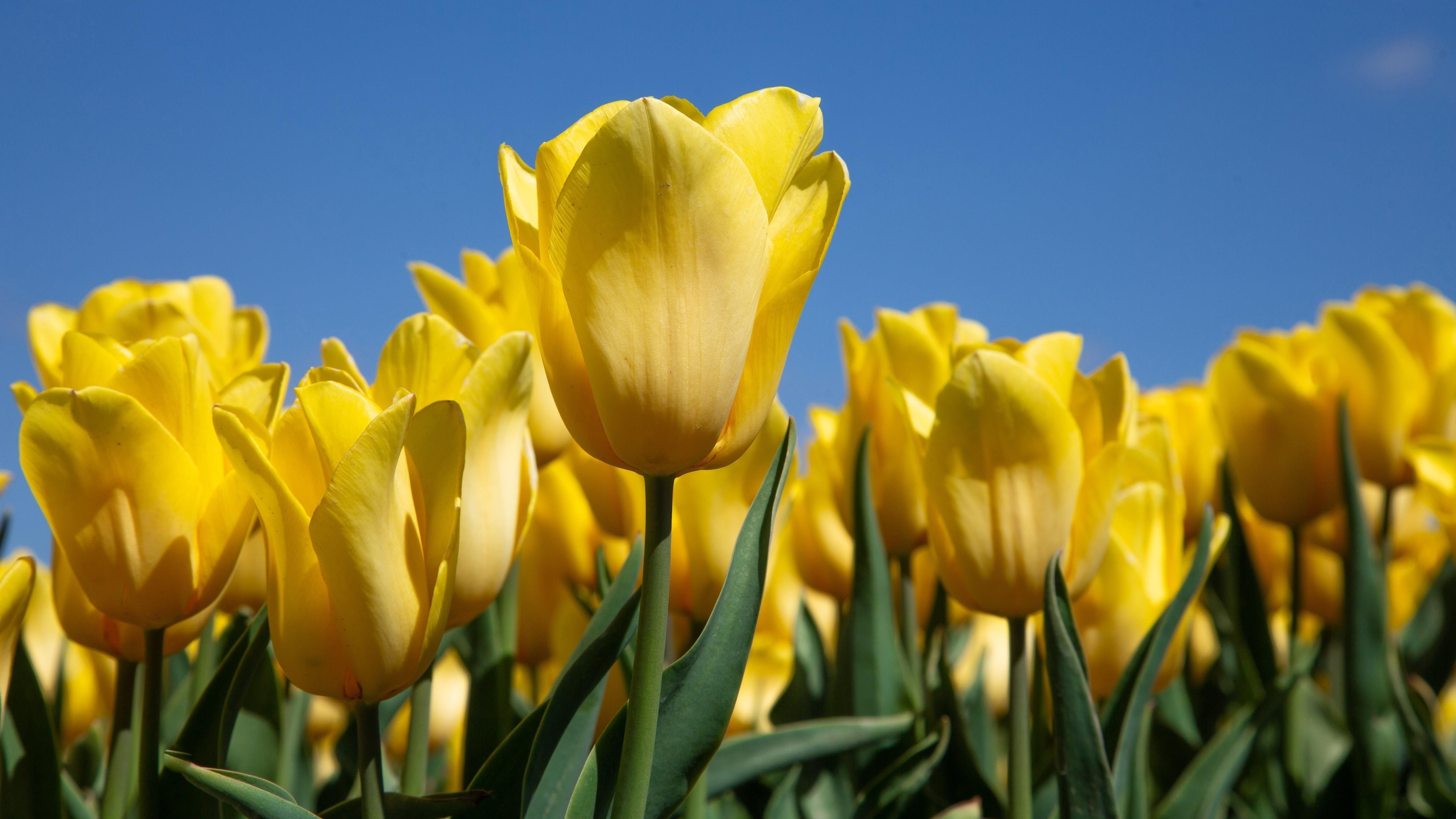 Желтый тюльпан обои скачать