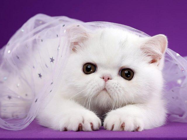 Симпатичная белая кошка покрыта белым сетчатым платьем на темно-фиолетовом фоне животных