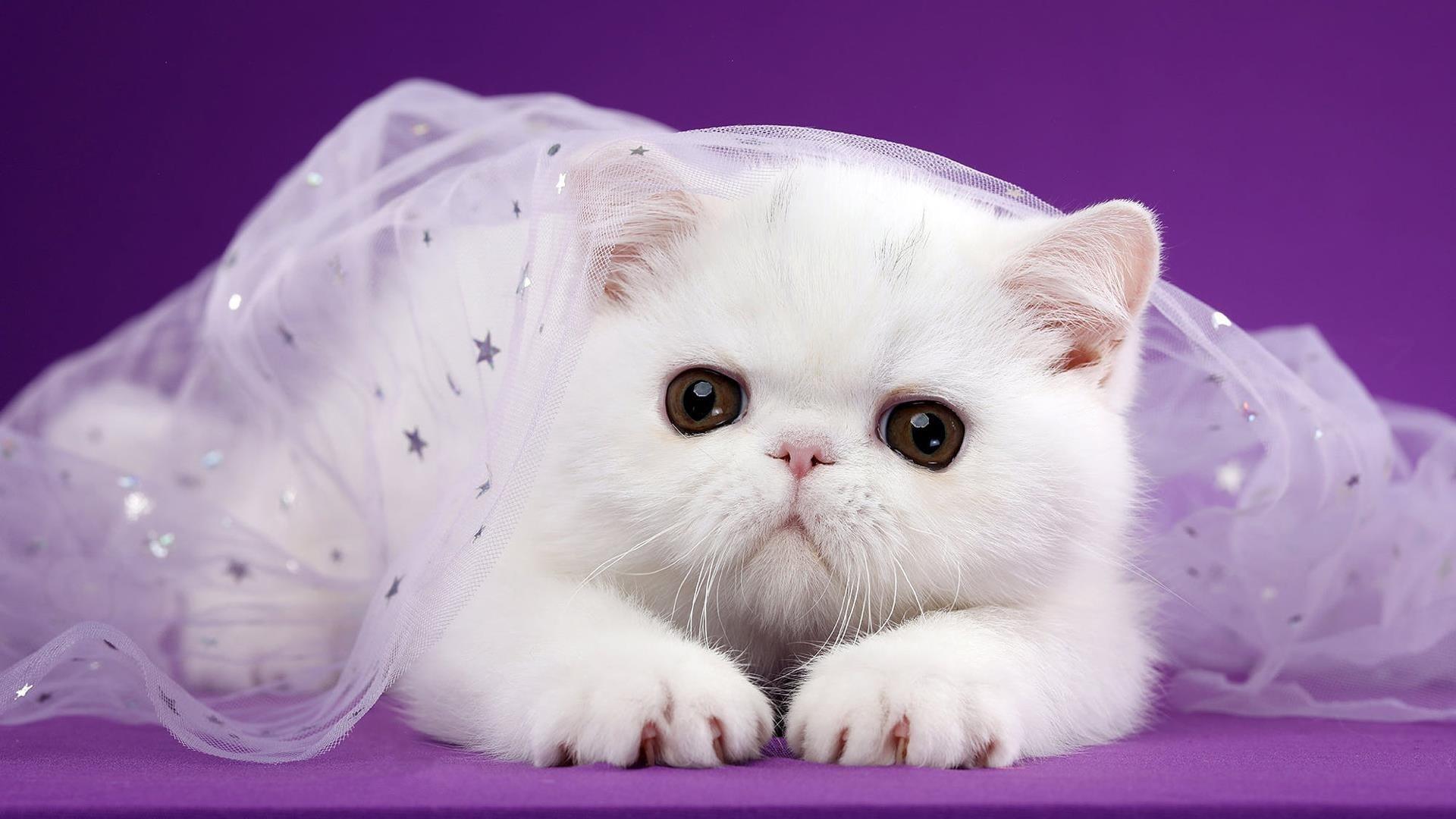 Симпатичная белая кошка покрыта белым сетчатым платьем на темно-фиолетовом фоне животных обои скачать