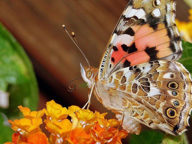 Коричнево-белые черные точки бабочка на цветах на коричневом фоне бабочка