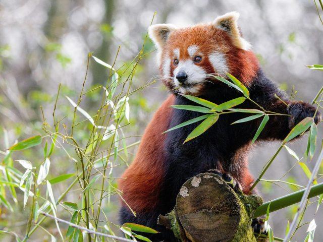 Животное красная панда