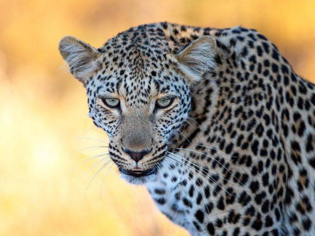 Леопард крупным планом фото в желтом размытом фоне животные