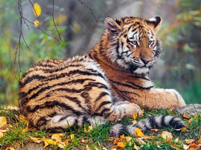 Детеныш тигрицы