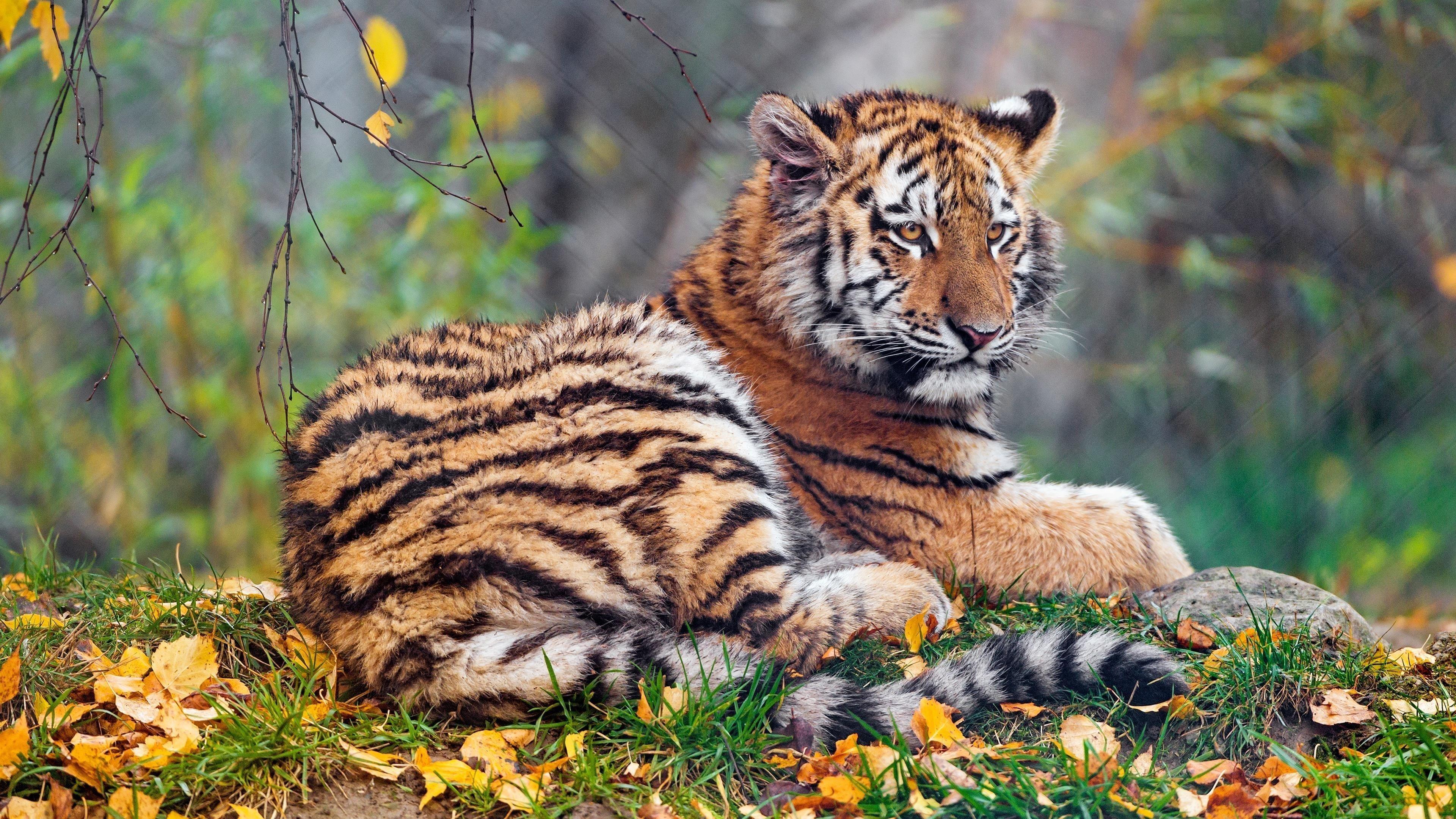 Детеныш тигрицы обои скачать