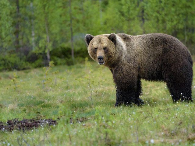 Бурый медведь одиноко стоит на зеленом поле в дневное время животные