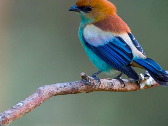 Желто коричневая Синяя птица Тангара Прециоза сидит на ветке дерева животные