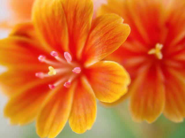Левзеи цветы.