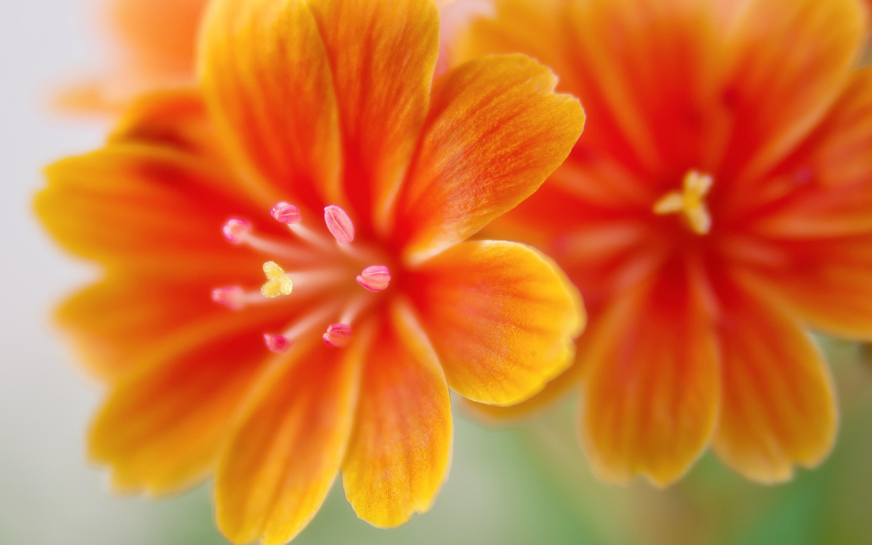 Левзеи цветы. обои скачать