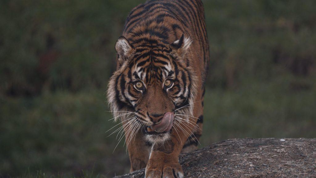 Тигр стоит на скале с пристальным взглядом тигра обои скачать