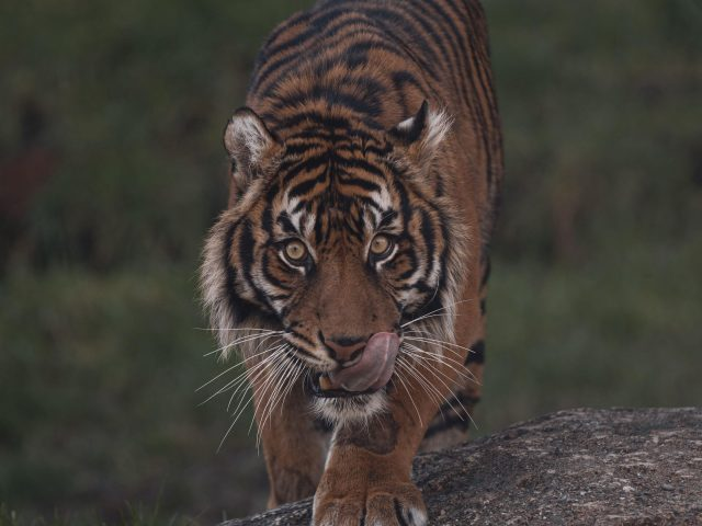 Тигр стоит на скале с пристальным взглядом тигра