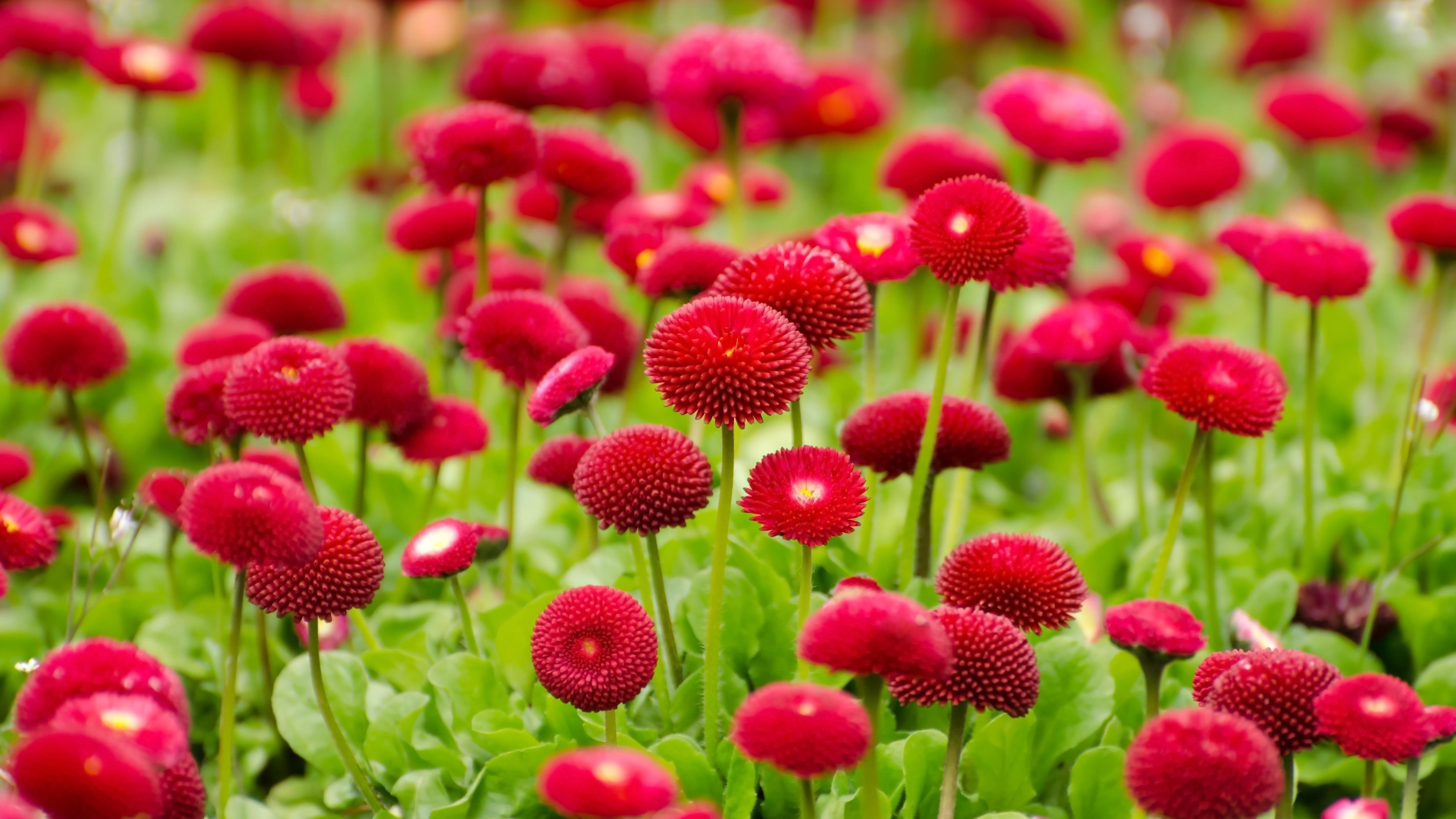 Красные цветы расцветают обои скачать
