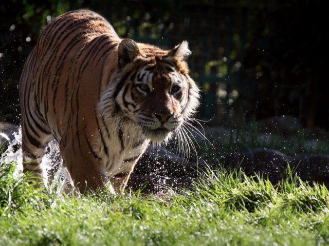 Животное тигр