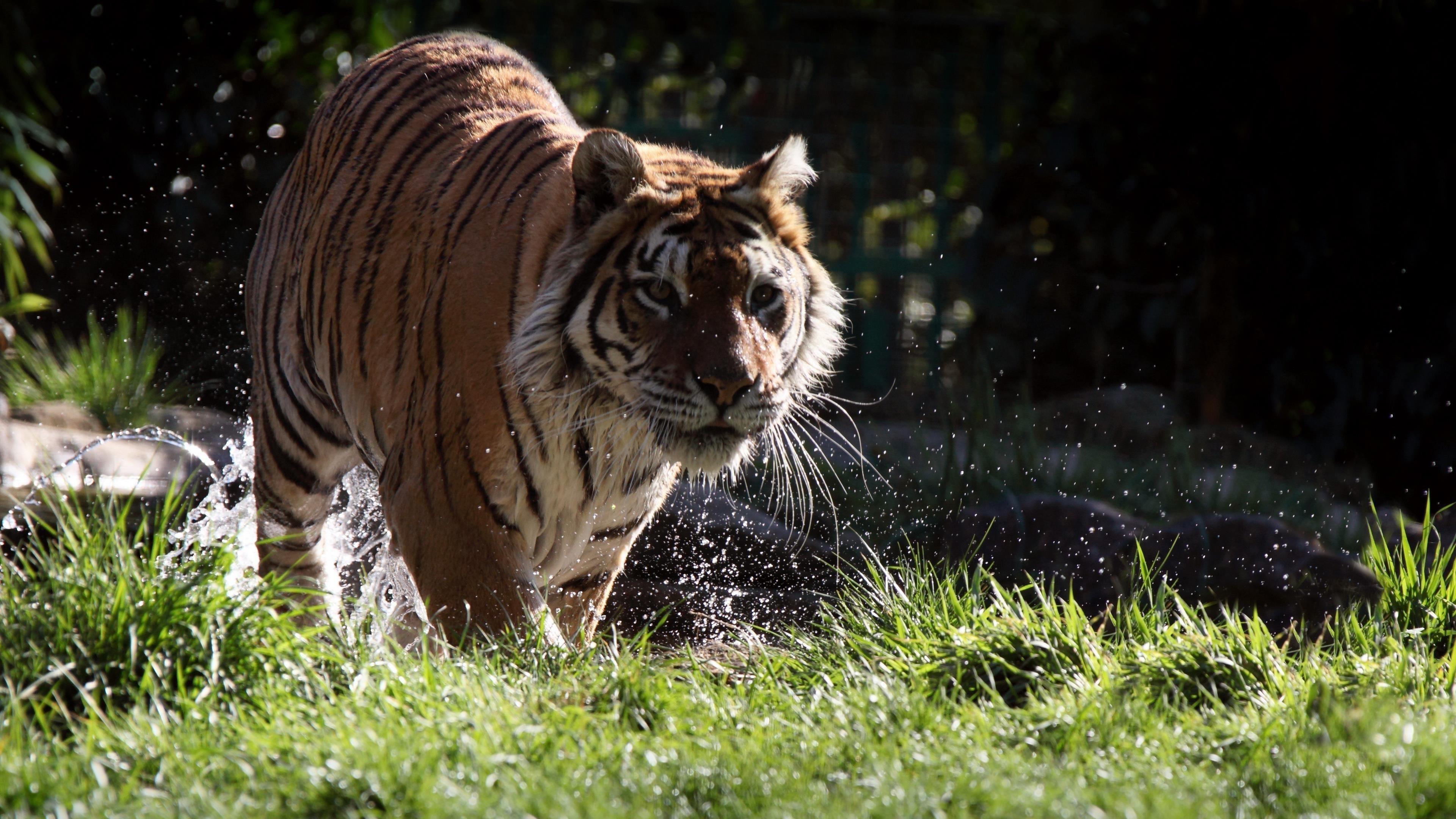 Животное тигр обои скачать