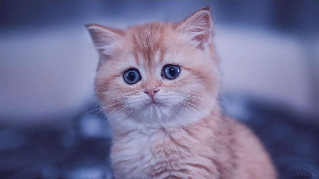 Голубые глаза коричневая белая кошка на синем фоне кошка обои скачать