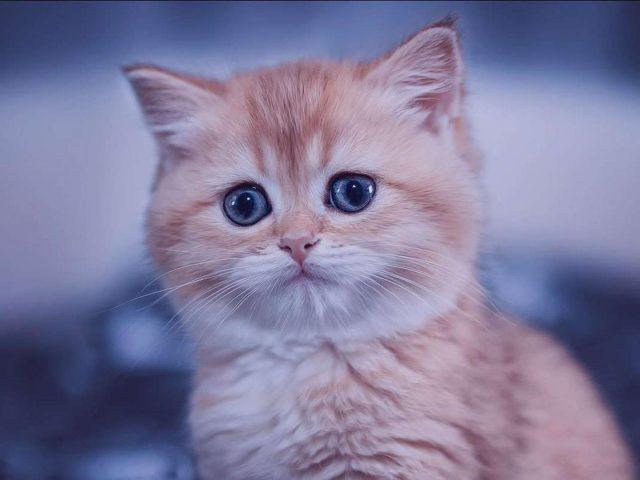 Голубые глаза коричневая белая кошка на синем фоне кошка