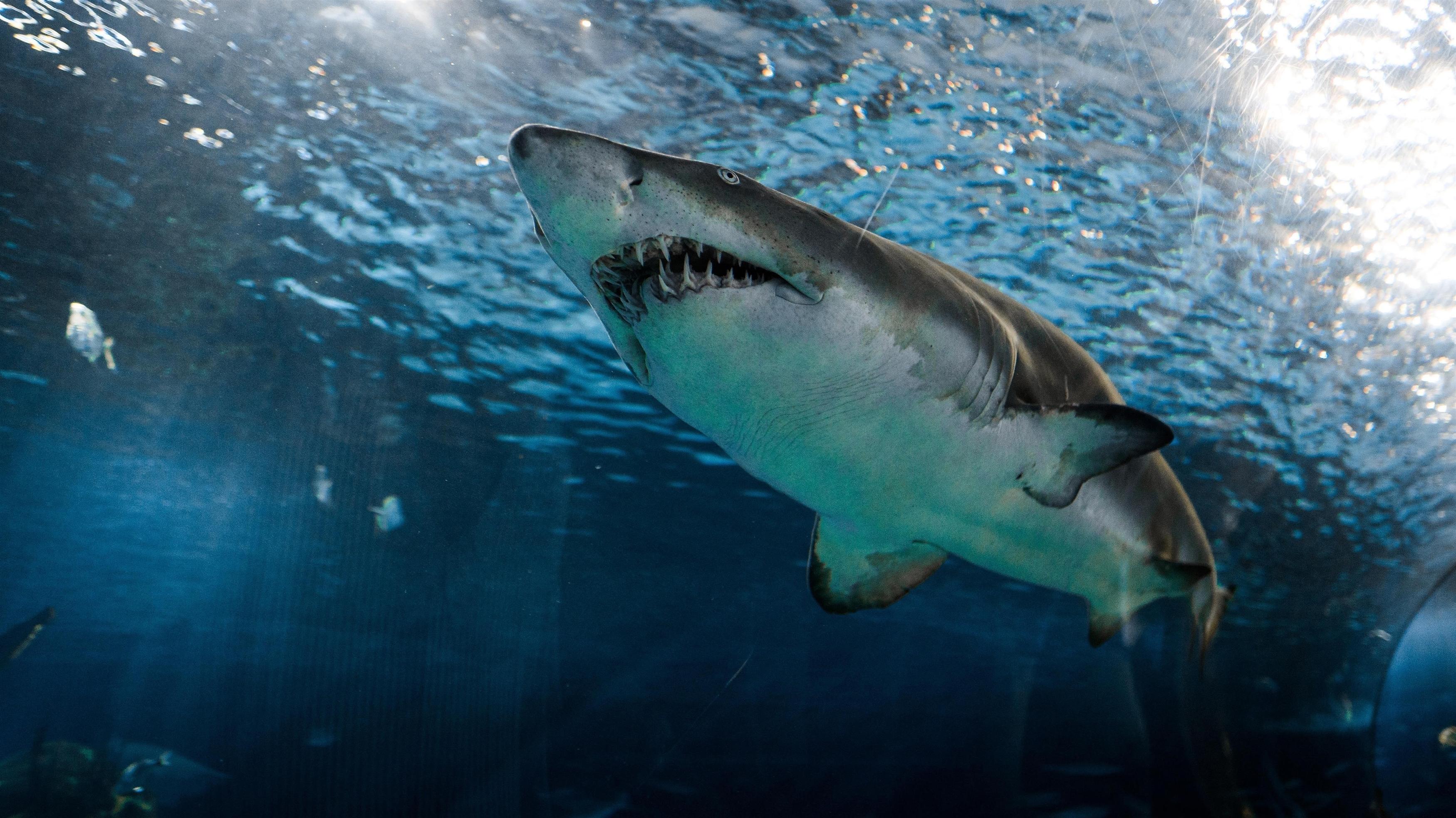 Серо-белая акула под водой обои скачать
