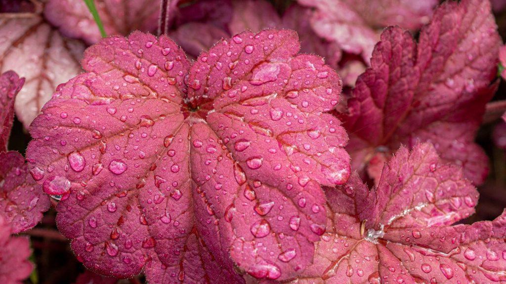 Красные листья растений с каплями воды природа обои скачать