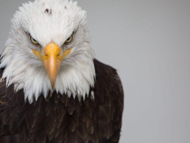 Орел белый коричневый