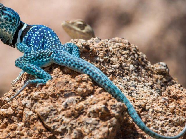 Бело — голубая ящерица на коричневых скальных животных