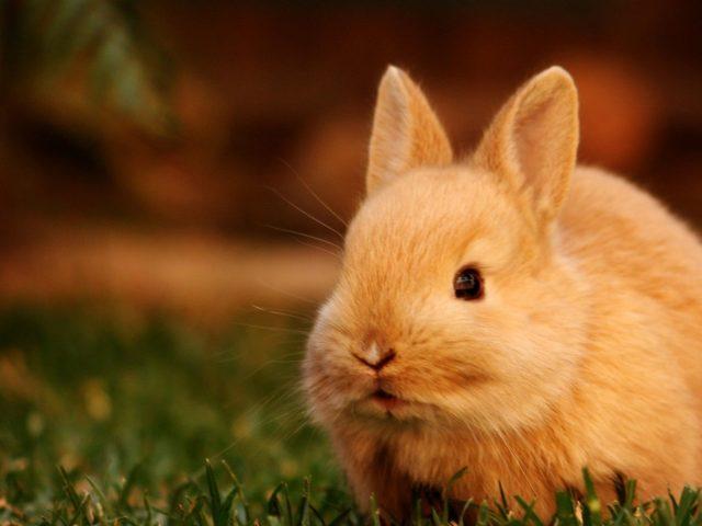 Милый Коричневый кролик крупным планом фото в размытом фоне животных