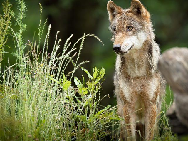 Животное волк животные