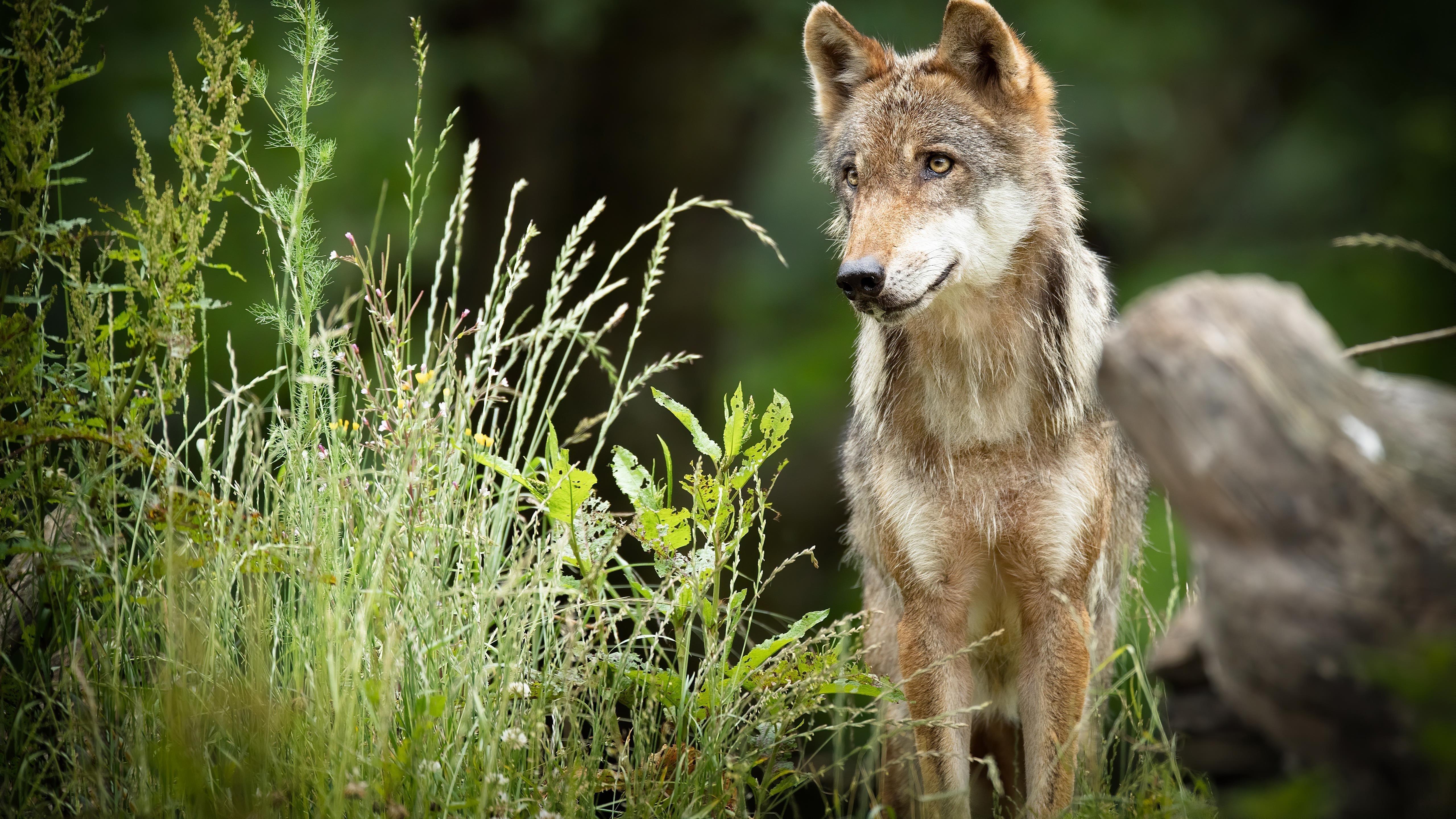 Животное волк животные обои скачать