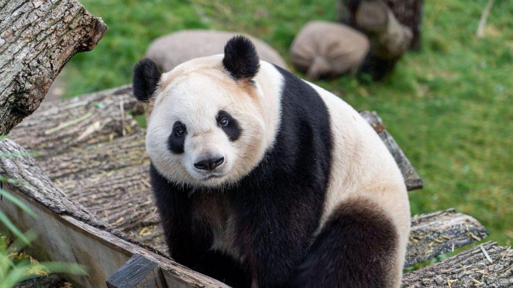 Черный белый медведь панда на деревянной скамейке панда обои скачать