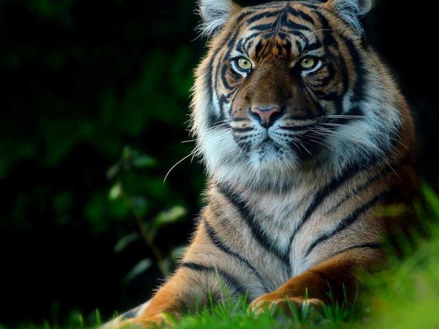 Тигр с пристальным взглядом сидит на зеленой траве тигр