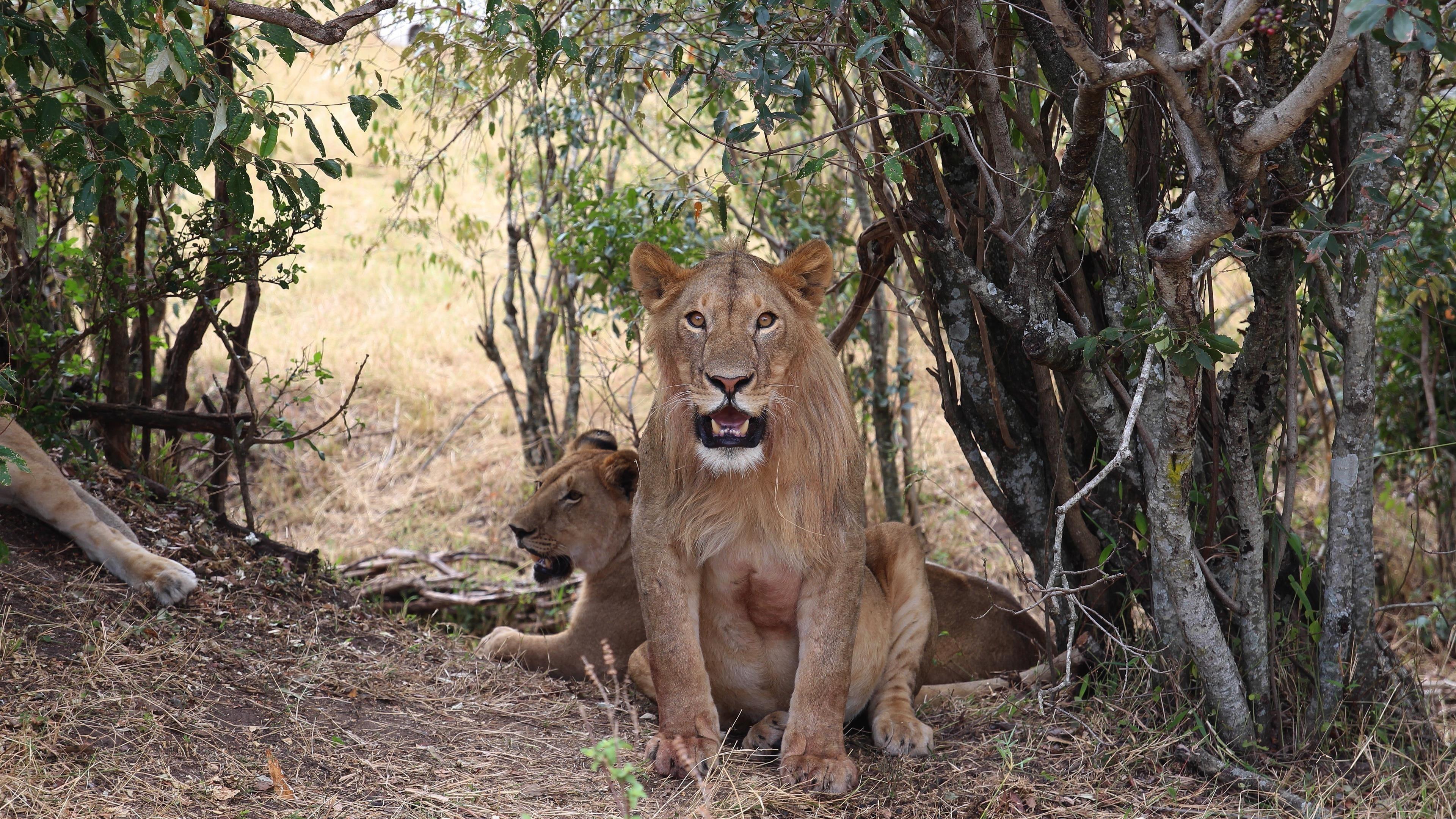 Животное лев животные обои скачать
