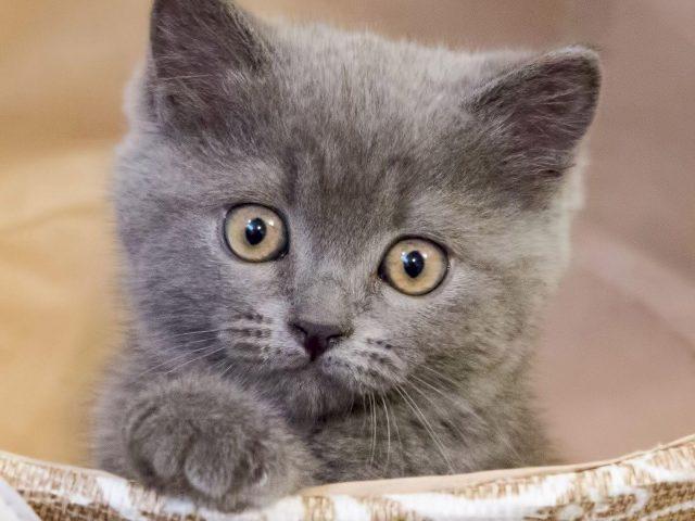 Светло-пепельный кот котенок с пристальным взглядом котенка