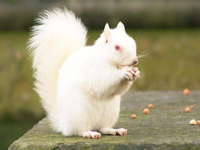 Белка с белым мехом ест орехи, стоя на размытом фоне белка