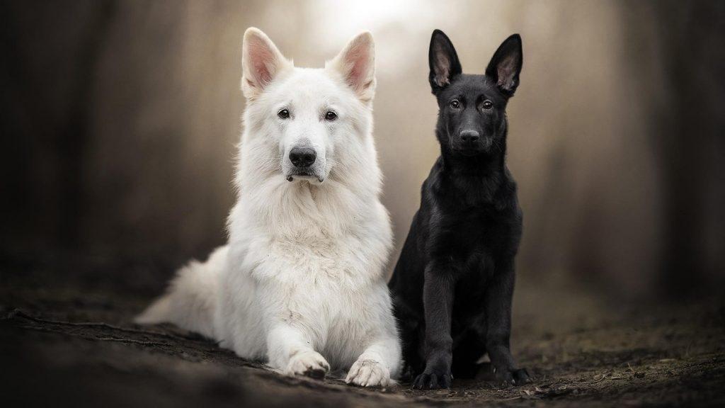 Немецкая овчарка домашнее животное щенок швейцарская овчарка собака обои скачать