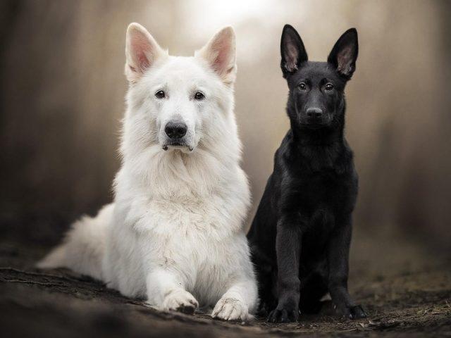 Немецкая овчарка домашнее животное щенок швейцарская овчарка собака