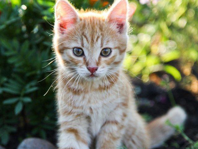 Бело-коричневый кот котенок с пристальным взглядом сидит на сине-зеленом фоне боке котенок