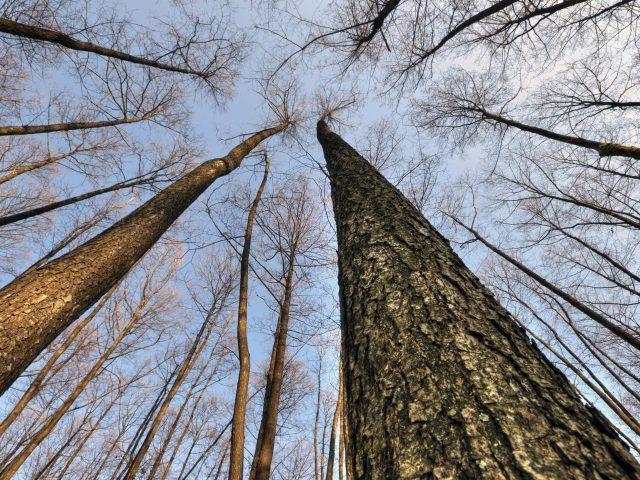 Высокие сухие деревья с голубым небом в дневное время природа
