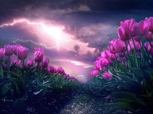 Розовый тюльпан цветок сад
