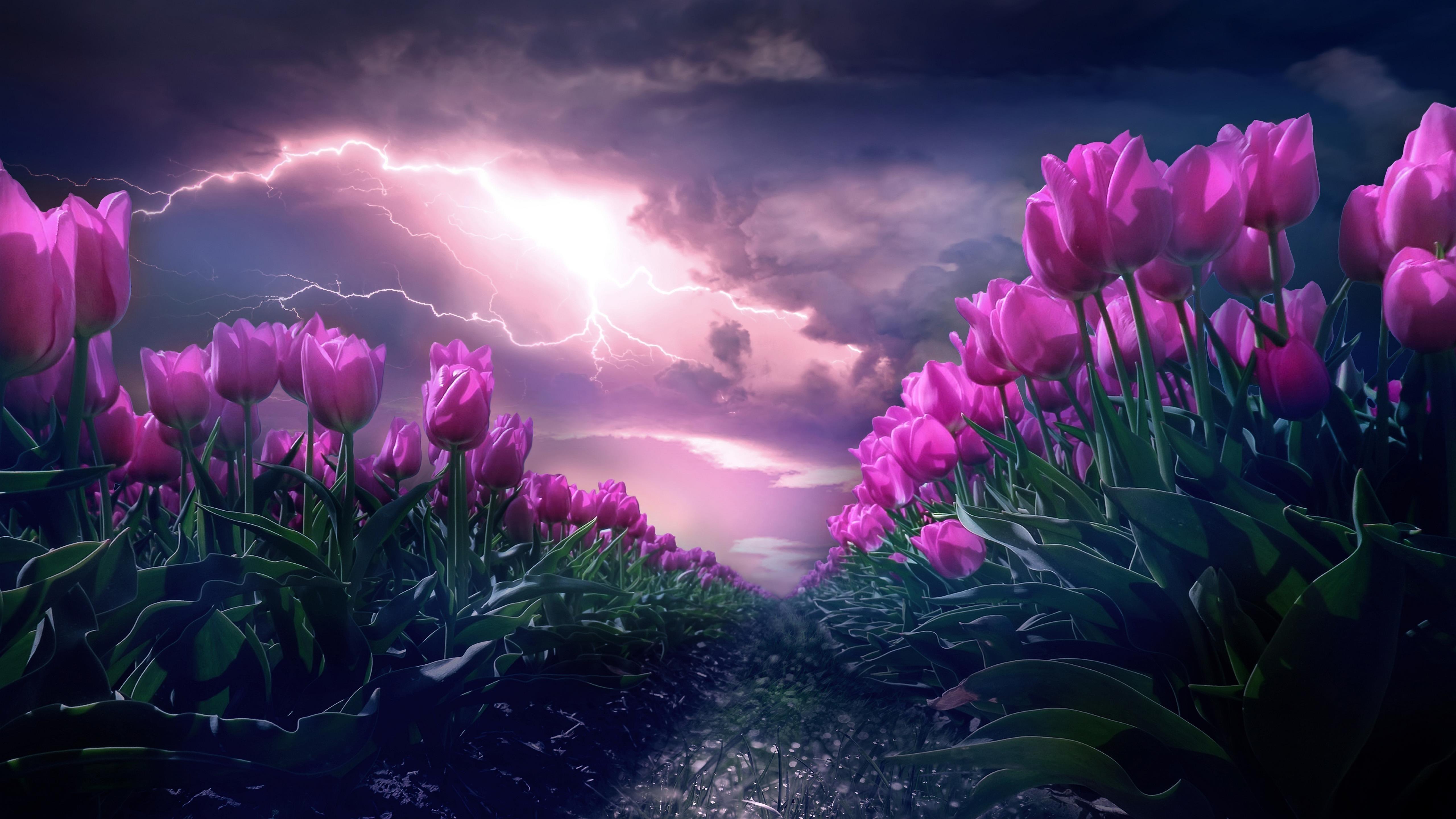 Розовый тюльпан цветок сад обои скачать