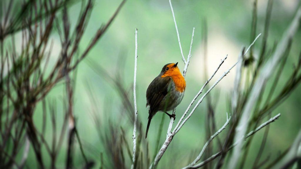 Желто черная птица малиновка стоит на ветвях деревьев птицы обои скачать
