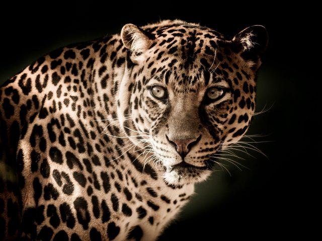 Леопард хищник морда взгляд