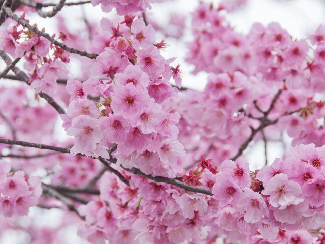 Цветут ветви сакуры во время весенних цветков