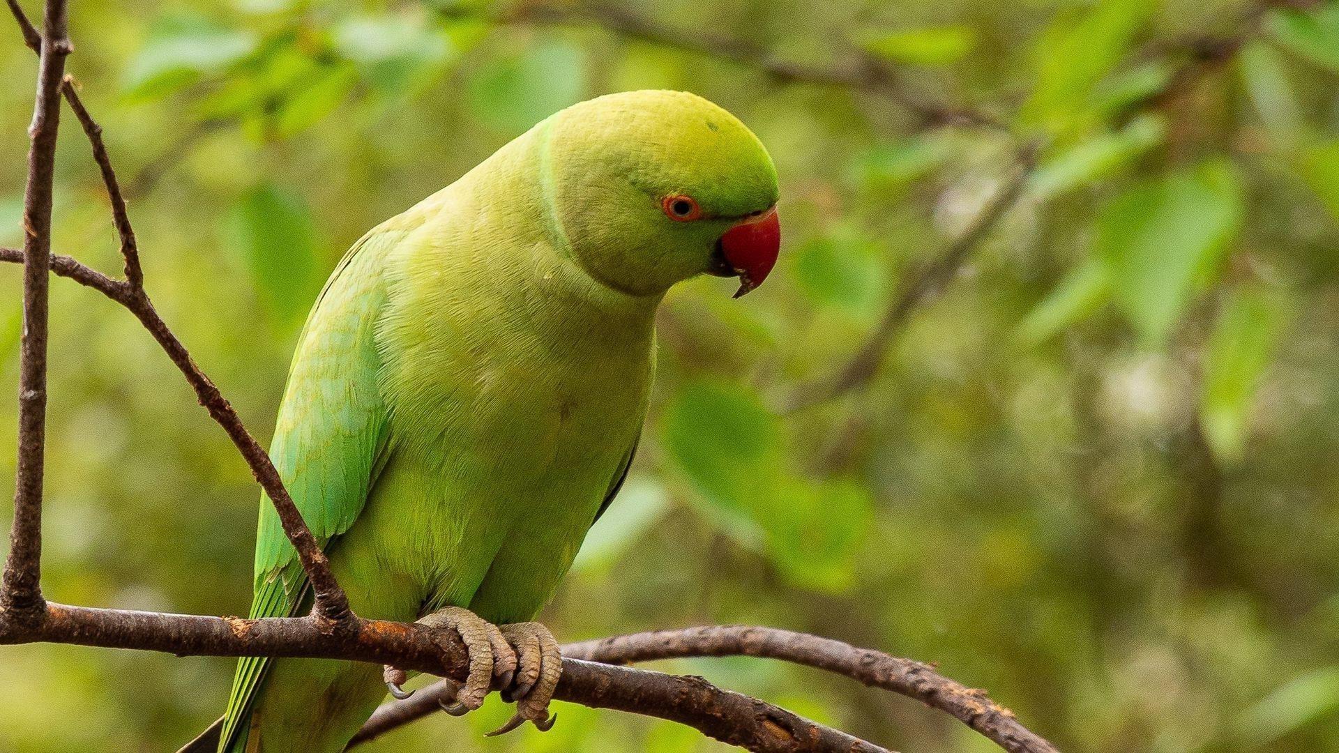 Зеленый попугай попугай сидит на ветке дерева в размытом зеленом фоне птицы обои скачать