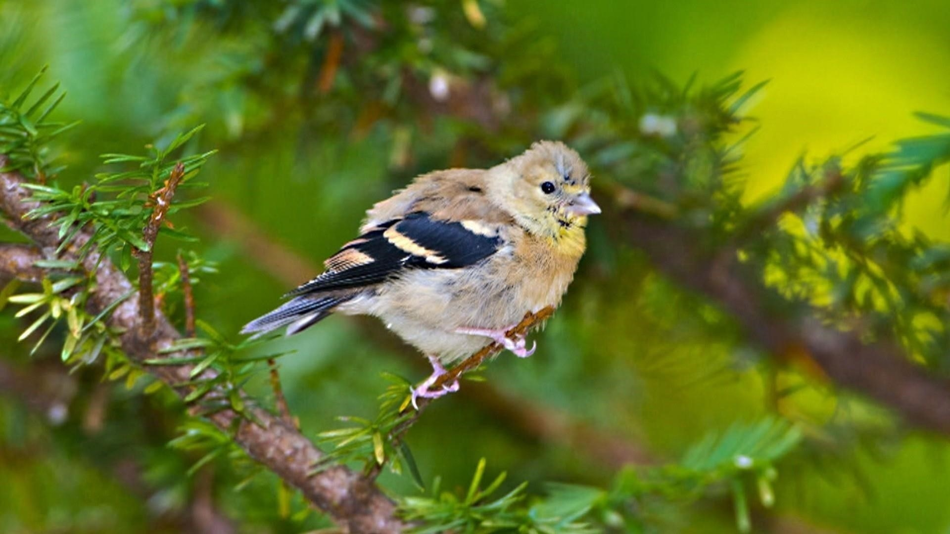 Черно коричневая птица на ветке дерева в зеленом размытом фоне птицы обои скачать