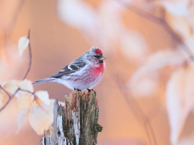 Белая черная красная обычная птица редполл стоит на стволе дерева в размытом фоне птицы