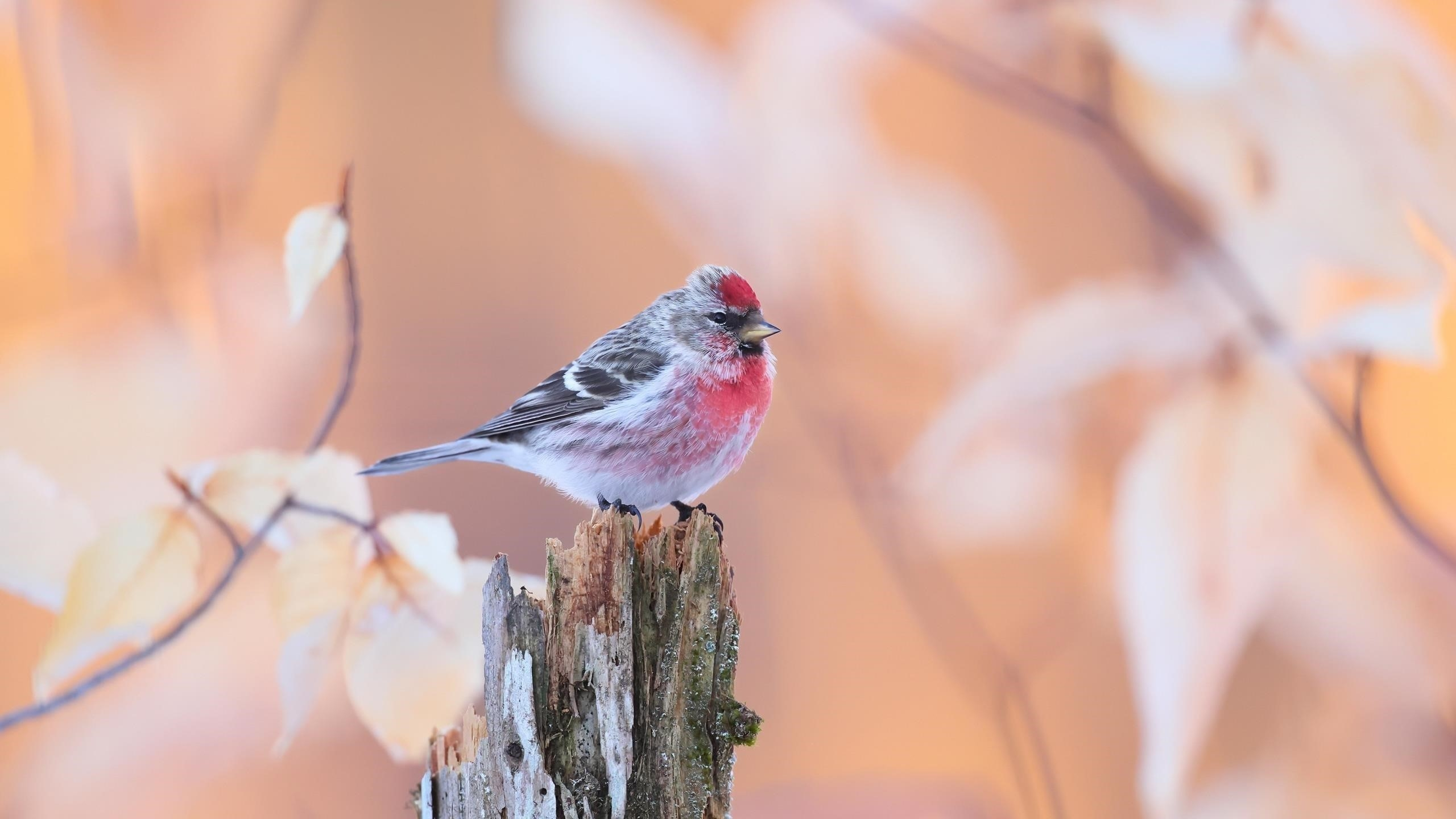 Белая черная красная обычная птица редполл стоит на стволе дерева в размытом фоне птицы обои скачать