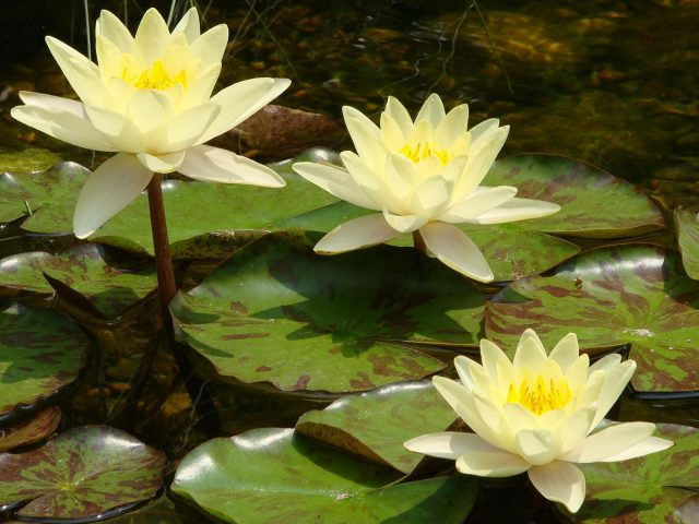 Желтые цветы водяной лилии зеленые листья в дневное время цветы