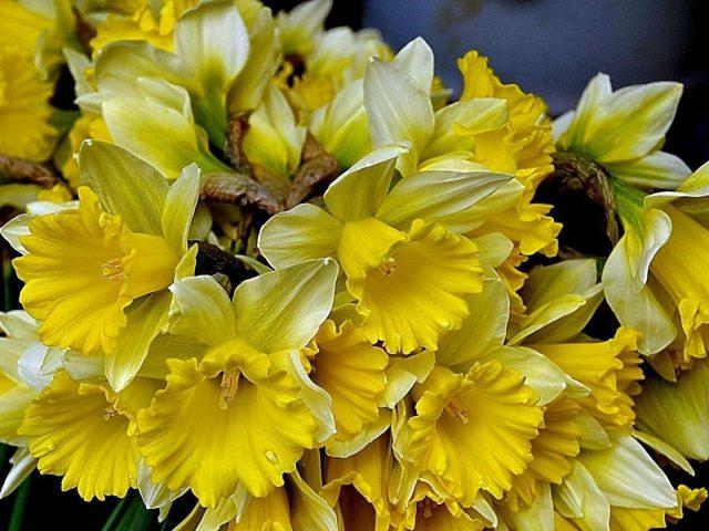 Цветы нарциссов желтые весенние цветы