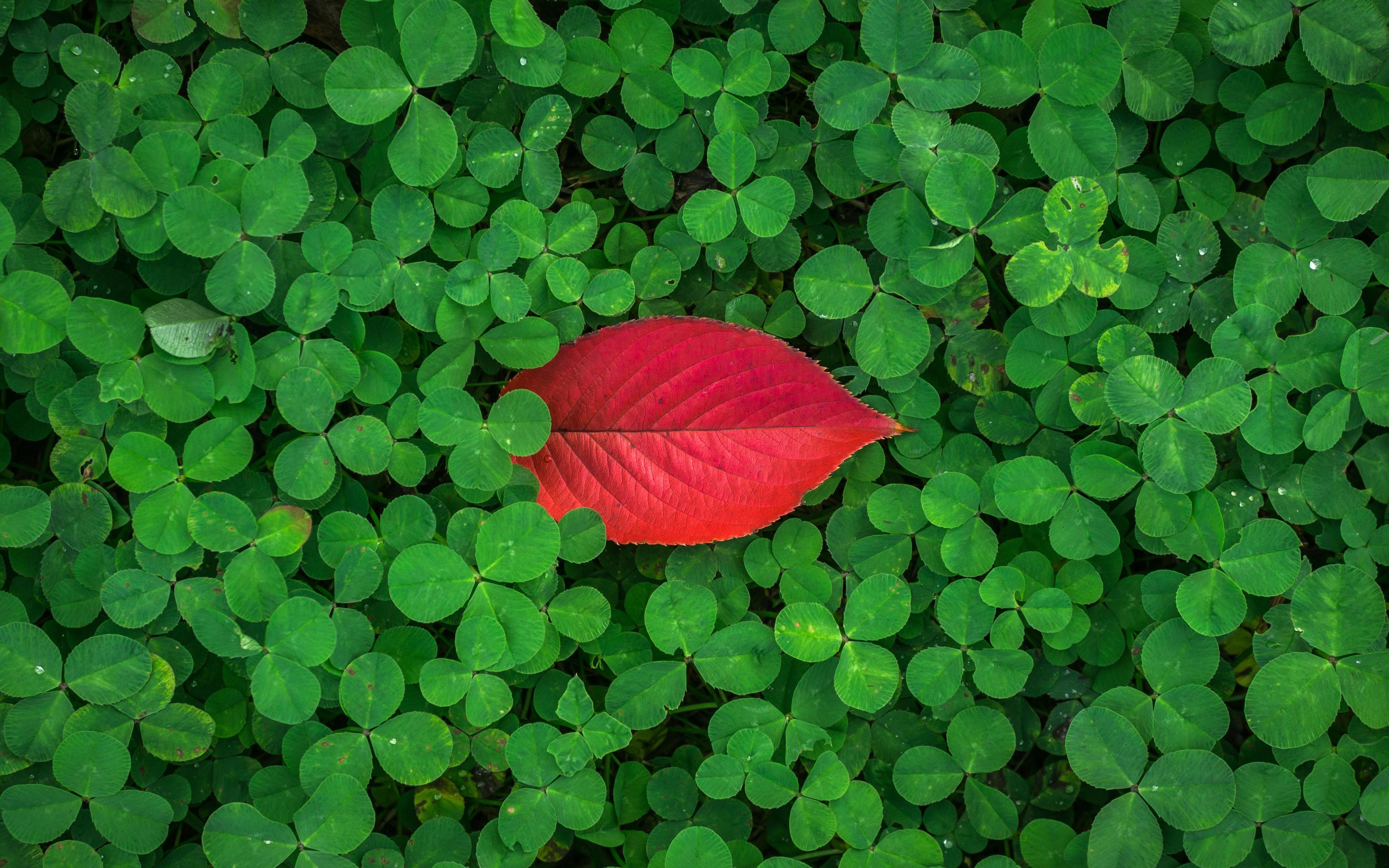 Листья клевера обои скачать