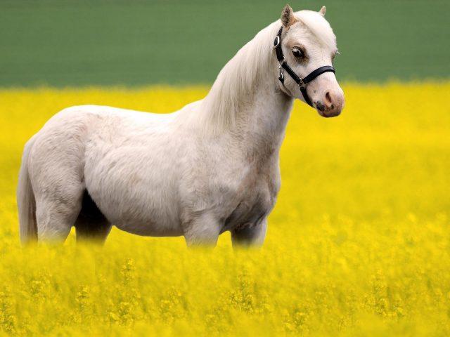 Белая лошадь стоит на желтом рапсовом поле в размытом фоне животных