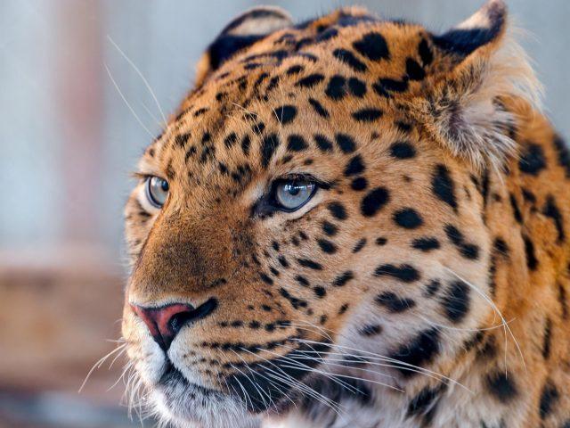 Гепард леопард спокоен