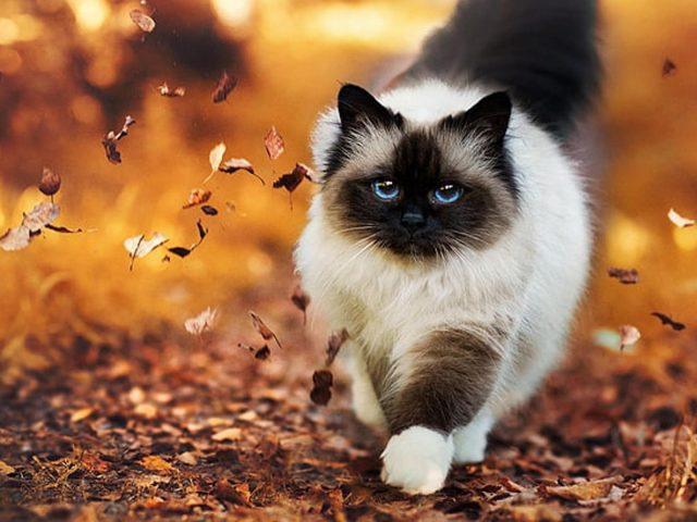 Черно-белый пушистый кот стоит на фоне падающих осенних листьев
